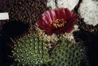 #11 Opuntia polyacantha ' Carmin ', South Dakota, very hardy form.