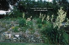 One of my many beds with blooming Yucca plants, photo from July 2003